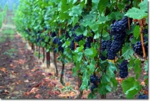 pinot-noir-vineyard